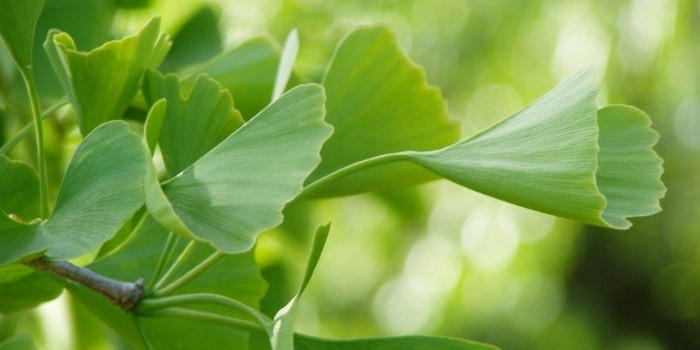 green ginko leaves